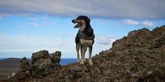 4mai_Thorbjorn_048 (Stefn H. Kristinsson) Tags: dog mountain dogs iceland spring hiking may ma vor hundur sland ganga fjallganga tamron2875mm grindavk hundar grindavik orbjrn nikond800 thornbjorn orbjarnarfell
