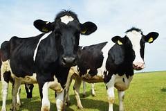 Posing (Tobi NDH) Tags: nature animal kuh cow weide cattle landwirtschaft natur tier holstein frisona holsteinfriesian tilleda vacafrisona holsteinrind weidehaltung siyahalaca holtnskskot vacaholstein holsteinfrz holsteinfrsia  holsztynofryzyjska   holsteinfrieser