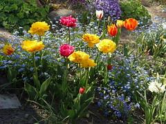 SPRING GARDEN : MAY 2016 (swetlanahasenjger) Tags: tulpen vergissmeinnicht doublefantasy platinumheartaward saariysqualitypictures
