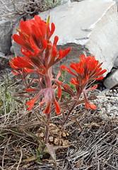 Great Basin NP Wildflowers