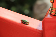 2 (  / Yorozuna) Tags: red color green shrine frog niigata   treefrog vermilion yellowgreen nagaoka         inarishrine     hylajaponica   japanesetreefrog       houtokusaninaritaisha houtokusaninarishrine