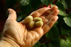 (Teteel) Tags: green closeup fruit berries hand whiteberries