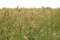 DSC01222 (Donovan Vest) Tags: cold field canon landscape harbor spring zoom bokeh wheat sony 7 telephoto battlefield fd 80200mm adg nex albinar f39