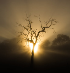 Morning Rays (Richard Sollorz Photography) Tags: morning autumn colour tree fog bronze sunrise landscape dead outdoors farm country australia nsw gumtree bathurst richardsollorz