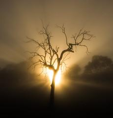 Morning Rays (Richard Sollorz Photography) Tags: morning autumn colour tree fog bronze sunrise landscape dead outdoors farm country australia nsw gumtree bathurst richardsollorz