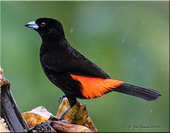 'black & red' (d-lilly) Tags: male costarica passerinistanager tanagers costarica2016 naturestapestryphotoadventuretours