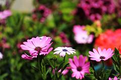ROSY ! (rumuzlu) Tags: pink flowers trees sun flower color tree beauty yellow turkey nice colorful istanbul tourist iek yeil gne gzel eminonu renk yeillik pembe renkli gzellik