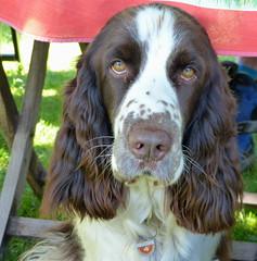Pfotenfreunde-Wandertag (isajachevalier) Tags: dog hund springerspaniel haustier tier