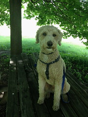 Harry, at work. 29 (4s) (Mega-Magpie) Tags: usa dog pet america puppy outdoors illinois harry dupage il poodle 4s iphone