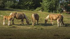 En symbiose avec la nature - Les Chevaux (NeptuN | neptun-photography.com) Tags: nature photographie sony libert chevaux symbiose exterieur nex7 sel18200le