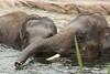 Asiatic Elephants (K.Verhulst) Tags: elephant elephants olifant emmen olifanten wildlands asiaticelephants aziatischeolifanten wildlandsadventurezoo