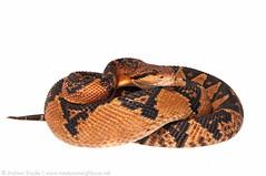Bushmaster (Andrew Snyder Photography) Tags: reptile snake conservation research viper wwf venomous herpetology bushmaster lachesis lachesismuta globalwildlifeconservation biodiversityassessmentteam worldwildlifefundguianas