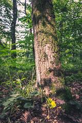 Sunlit Trunk (Falcdragon) Tags: trees sunlight tree forest outdoors woods walks belgium weekend be trunk gps lige rgionwallonne sonyrx100mk128100mmf1849