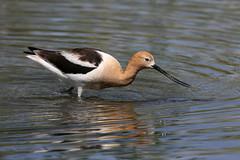American Avocet (fethers1) Tags: bird americanavocet coloradowildlife platinumheartaward belmarpark