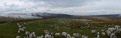 Sheep (Simon Caunt) Tags: panorama landscape yorkshire largeformat thegreatoutdoors oblong itsgrimupnorth vertorama welcometoyorkshire visityorkshire thelandofthelongwhitewhippet