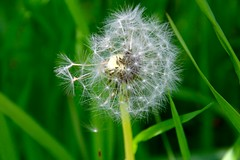 IMG_7920 (kween_beek) Tags: nature wisconsin outdoors weed dandelion wish wildflower wi