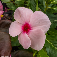 Vinca (Thad Zajdowicz) Tags: pasadena california zajdowicz leica availablelight lightroom outdoor outside flower vinca squareformat square 1x1 color pink green colour nature flora plant petals