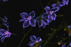 Delphinium (jgokoepke) Tags: flowers macro blossoms delphinium larkspur backsideillumination lchannelinversion