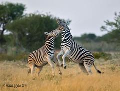 Zebra Fight! (MyKeyC) Tags: africa fight zebra namibia etosha vincentgrafhorst