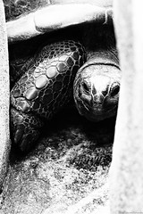 Hidden turtle (Mario Ottaviani Photography) Tags: blackandwhite bw white black nature monochrome animal monocromo turtle shell highcontrast natura bn hidden bianco nero tartaruga biancoenero nascosta sonyalpha highcontrastmono