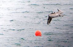 Pelican (Michael Bateman) Tags: bird pelican wildlife manhattanbeach california unitedstates us michael bateman photography michaelbateman