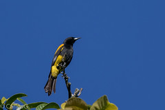 Cigua Canaria, Hispaniolan Oriole (Icterus dominicensis) (Gogolac) Tags: bird birds fauna birdie year aves location lavega republicadominicana 2016 birdphotography birdspot birdsavespajaritos birdingrd canon7dmii birdsspotters