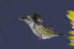 Female Annas Hummer In A World Of Blue (Bill Gracey) Tags: flower bird nature female hummingbird background hummer annashummingbird calypteanna manualmode offcameraflash paintedbackdrop avianphotography yn560 yn560ii yongnuorf603n yn560iii