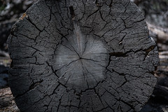 Cross section (spencer_r_allen) Tags: wood pine forest lens log nikon zoom timber telephoto idyllwild nikkor lumber crosssection d7100 55300mm