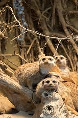 Zoo_Do_2016-41.jpg (Wotan1081) Tags: zoo dortmund tier erdmnnchen
