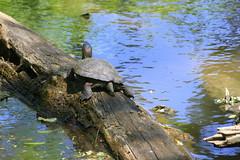 Western Pond Turtle (ivlys) Tags: usa california williams colusa naturschutzgebiet nationalwildliferefuge schildkrte turtle westernpondturtle pazifischesumpfschildkrte actinemysmarmorata tier animal wasser water baumstamm trunk nature ivlys