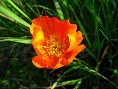 Good Morning! (peggyhr) Tags: orange sunlight canada grass yellow shadows alberta poppy thegalaxy peggyhr heartawards bluebirdestates level1photographyforrecreation thegalaxyhalloffame redlevelno1 myhatsofftoyou infinitexposurel1 dsc06572a
