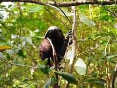 Naughty Kaka (dougnewdick) Tags: parrot kaka zealandia
