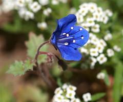 Baby blue eyes (Kazooze) Tags: flower blueflower plant macro babyblueeyes alyssum garden sigma105mmmacrolens outdoor bokeh