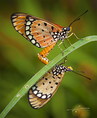 butterfly (Albert Photo) Tags: two macro nature animal butterfly insect pattern bright outdoor twin mating copulation organicpattern photoborder