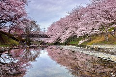 (Clonedbird  & Iris ) Tags:          sakura kyoto japan spring reflection 2016 nikon d810