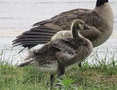 IMG_5013 (rachelaughs) Tags: birds geese wings feathers goose grooming goslings gosling waterfowl babybird babyanimal babybirds babyanimals mothergoose babygoose babygeese