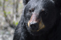 INQUISITIVE ONE  -  (Selected by GETTY IMAGES) (DESPITE STRAIGHT LINES) Tags: bear nature fur paw nikon flickr getty wildanimal paws mothernature claws animalia blackbear gettyimages d800 ursusamericanus wildbear carnivora paulwilliams babyblackbear nikon2470mm nikkor2470mm nikond800 nikongp1 despitestraightlines despitestraightlinesatgettyimages gettyimagesesp ablackbeareatinggrass blackbearonalaskahighway