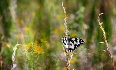 Summer colors. (augustynbatko) Tags: flowers summer plants nature grass june butterfly meadow