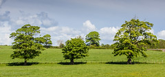 180 - Trees (md93) Tags: trees three woods fields troon ayrshire loans fullarton 366