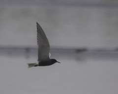 Black Tern (J.B. Churchill) Tags: allegany blte birds blacktern gullsterns maryland northbranch places taxonomy