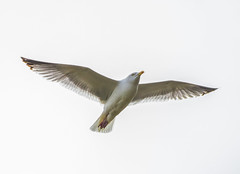 Fying high (the tamron tog) Tags: white canon seaside seagull gull wingspan herring pest clever
