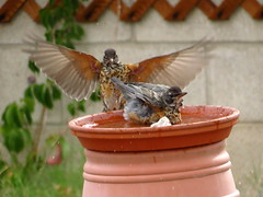 Guardian Angel Robin at the Bird Bath (KrisNM) Tags: summer bird robin backyard birdbath speckled