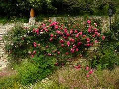 Roses in Balchik botanical garden, Bulgaria (cod_gabriel) Tags: roses blossom redrose bulgaria jardimbotnico bloom botanicalgarden hortusbotanicus redroses bulgarie jardnbotnico balchik  ortobotanico botanischergarten bulgarije bulgarien dobrudja bulgaristan bugarska balcic  balcsik trandafiri  bugaria dobrogea gradinabotanica trandafir dobroudja   ogrdbotaniczny   cadrilater bulgria botanisktrdgrd grdinabotanic botanikbahesi    dobruda dobruca dobruja  dobruda   balik    dobrudzsa dobrugia dobroedzja dobrudzja   grdinbotanic   baczik baltsjik  kebunbotani baltik