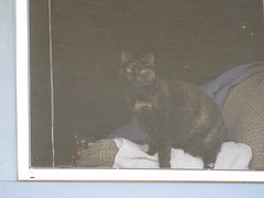 DiDi hoping to make an escape (MissMaryLogan) Tags: didi cat tortoiseshell pet
