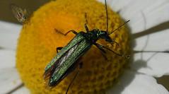 Green bug (na_photographs) Tags: grün käfer schillernd fühler