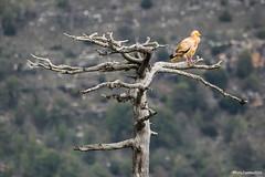 """Alimoche y Posadero"" 5 (fotojuanma2000) Tags: alimoche egyptian vulture raptor fauna wild life espaa spain serrana cuenca"