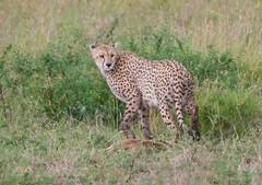 Cheetah Guarding Kill (Nigel Nudds Photography) Tags: elephant rain tanzania shower monkey rainbow buffalo lion butterflies pelican leopard zebra crocodile antelope cheetah giraffe baboon serengeti hyrax vervet hippos dikdik agama topis