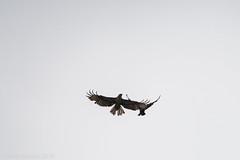 buzzard v carrion crow (RCB4J) Tags: sky bird art nature photography flying wildlife raptor corvid buteobuteo commonbuzzard carrioncrow corvuscorone aerialcombat sigma150500mmf563dgoshsm ronniebarron rcb4j sonyilca77m2