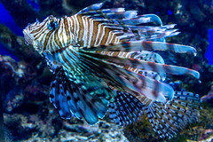 Lionfish (Matthew Warner) Tags: california fish aquarium sandiego ucsd scrippsaquarium geolocation geocity geocountry camera:make=nikoncorporation exif:make=nikoncorporation geostate exif:aperture=11 camera:model=nikond3200 exif:model=nikond3200 exif:focallength=52mm exif:isospeed=1600 exif:lens=1801400mmf3556 geo:lon=11725069333333 geo:lat=32865768333333