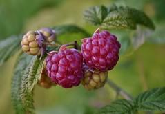 Beerige Zeiten I (chrissie.007) Tags: fruit berries beeren raspberries frchte himbeeren 20160619
